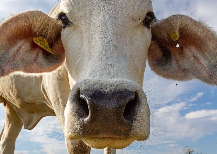 a close up shot of a cow