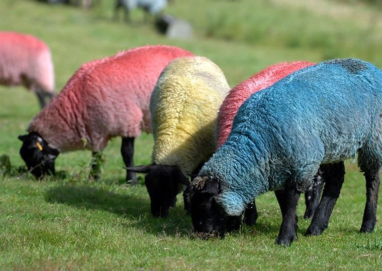 four sheep with pink yellow and blue dyed fur