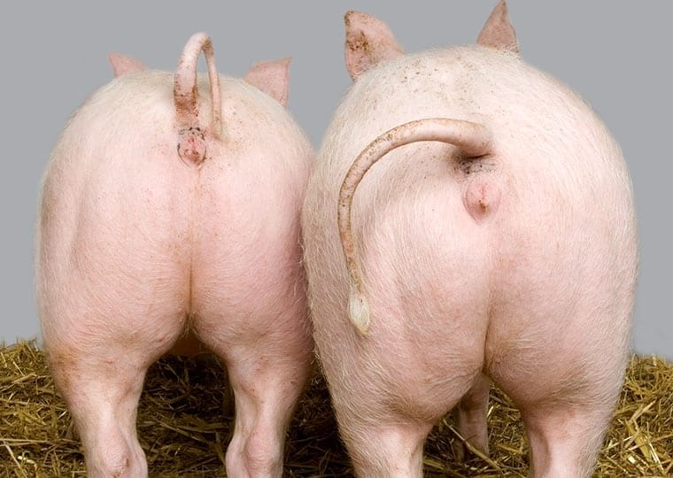 two pigs rear ends