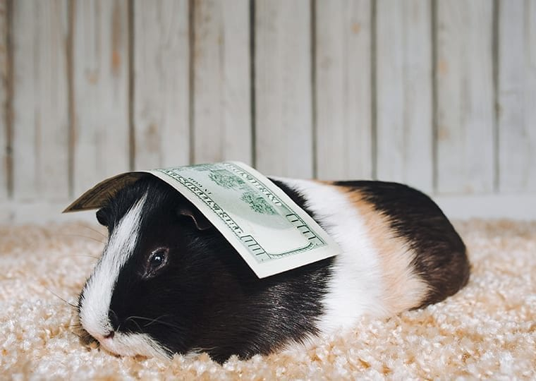 a guinea pig with an american note on their head